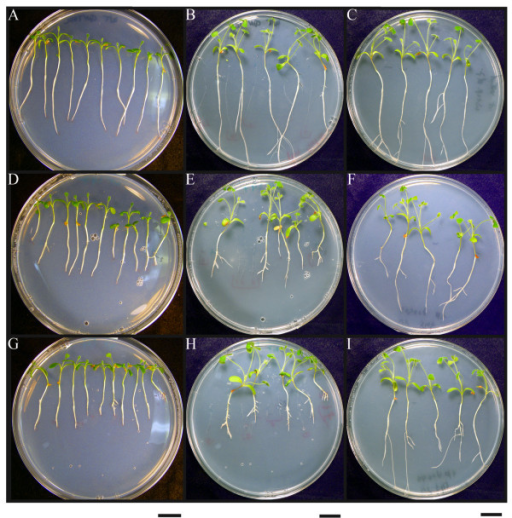 Biological activity of CLE peptides in Medicago truncatula. Confirmation of the biological activity of synthetic CLE peptides corresponding to 14 amino acids of the conserved domain of predicted CLE signaling peptides in a plate assay using M. truncatula. Peptides were added at a concentration of 10 μM as growth media additives. The top row (A-C) shows plant growth in the absence of peptide, the middle row (D-F) in the presence of peptide 1 (SKRKVPSCPDPLHN), and the bottom row (G-I) in the presence of peptide 2 (SKRRVPNGPDPIHN). Plant growth is shown on day 6 after treatment (left column; A, D, G), on day 20 after treatment (middle column; B, E, H) and on day 20 of recovery, whereby seedlings were treated for 6 days and then transferred to plates without peptide for the remaining 14 days (right column; C, F, I). Bar on the bottom of each column indicates 2 cm.