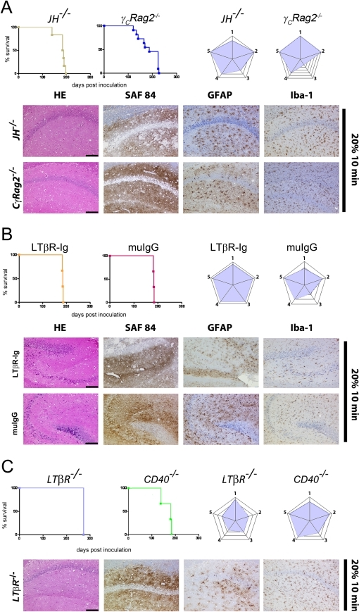 Prion transmission through aerosols in immunocompromised mice.Survival curves, lesion severity score analysis (radar plots), and representative histopathological micrographs of mice with genetically or pharmacologically impaired components of the immune system (JH−/−, γCRag2−/−A),129Sv mice treated with LTβR-Ig or with muIgG (B), and LTβR−/−, and CD40−/− mice (C). All mice were exposed for 10 min to aerosolized 20% IBH. Stain code: HE (spongiosis, gliosis, neuronal cell loss), SAF84 (PrPSc deposits), GFAP (astrogliosis) and Iba-1 (microglial activation) as in Fig. 1H. Scale bars: 100µm.