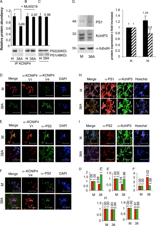 Lack of KCNIP4–PS2 protein–protein interaction in 38A-overexpressing cells. (A) PS2 is detected by anti-PS2 IgGs in samples immunoprecipitated (IP) with anti-KCNIP4 in pMock-transfected cells, whereas PS2-KCNIP4 coimmunoprecipitation is prevented in 38A-overexpressing cells (P = 0.023, as the averaged result of five experiments). In the same samples, the lack of immunoprecipitation of KCNIP4 with a different component of the γ-secretase complex (PS1) is shown. (B) The 38A-dependent impairment of PS2/KCNIP4 protein–protein interaction is prevented by the treatment of cells with the PolIII inhibitor ML-60218. (C) Input sample demonstrating that the amount of PS2 and PS1 in the protein sample is not affected by 38A overexpression. (D) Immunofluorescence detection of KCNIP4 Var I and Var IV by splice variant–specific antibodies in pMock-transfected cells (M) and in 38A-overexpressing cells (38A). Bars, 100 µm. (E) KCNIP4 Var I and PS2 signals in 38A-overexpressing cells. Bars, 100 µm. (F) The KCNIP4 Var IV–specific antiserum does not evidence a colocalization of KCNIP4 and PS2. Bars, 100 µm. (G) Western blot quantitative analysis of the PS1 and KChIP3 amount in Mock (M) and 38A-overexpressing (38A) cells. (H) Immunofluorescence detection of PS1 and KChIP3 in Mock (M) and 38A-overexpressing (38A) cells. α-PS1, α–anti-PS1; α-KChIP3, α–anti-KChIP3. (I) Immunofluorescence detection of PS2 and KChIP3 in Mock (M) and 38A-overexpressing (38A) cells. Bars, 100 µm. The quantification of fluorescence signals shown in D–F, H, and I is reported in the corresponding histograms D′–F′, H′, and I′. The error bars (referred to the mean of 10 microscope fields) were not relevant enough to be visible in the graphs. α-PS2, α–anti-PS2.