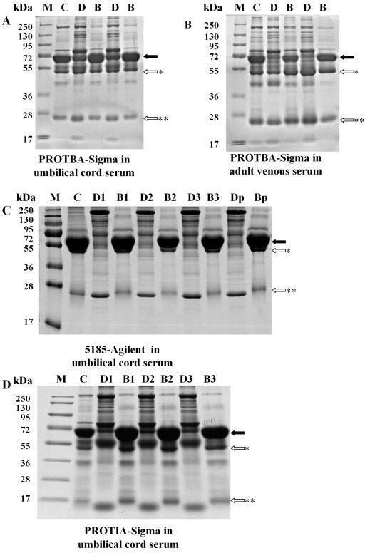 Comparison of depletion efficiency and repeatability of different kits on umbilical cord serum proteins samples by 1D-SDS-PAGE. Ten micrograms of crude, depleted or bound protein were loaded onto each lane and separated by 4-12% polyacrylamide gels. Proteins were visualized by Coomassie Blue staining. For examination of repeatability in umbilical cord serum depletion, the immunoaffinity columns (5185-Agilent and PROTIA-Sigma) were run three consecutive times with re-equilibration between depletion processes. However, for Blue Albumin and IgG Depletion Kit (PROTBA, Sigma-Aldrich, Saint Louis, MO, USA), serum samples were tested in two independent columns since its depletion efficiency was low even with a new column. A) Blue Albumin and IgG Depletion Kit (PROTBA, Sigma-Aldrich, Saint Louis, MO, USA) in umbilical cord serum depletion. B) Blue Albumin and IgG Depletion Kit (PROTBA, Sigma-Aldrich, Saint Louis, MO, USA) in adult venous serum depletion. C) Multiple Affinity Removal System (5185, Agilent, Santa Clara, CA, USA) in umbilical cord serum depletion. D) Immunoaffinity Albumin and IgG Depletion Kit (PROTIA, Sigma-Aldrich, Saint Louis, MO, USA) in umbilical cord serum depletion. Lanes: M: Prestained protein marker (Fermentas; 250, 130; 95, 72, 55, 36, 28, 17); C: Crude serum; D: Depleted serum; B: Bound proteins; D1-3: Depleted umbilical cord serum proteins of the first, second and third depletion process. B1-3: Bound proteins eluted from the column after the first, second and third depletion process. Dp: Depleted Proteins pooled by the three depletion processes. Bp: Bound proteins pooled by the three depletion processes Closed arrows: Protein band indicating albumin; Open arrows: Protein band indicating IgG; *heavy chain, and **light chain.