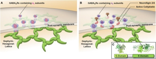 Synaptic GABAARs containing the α2 or α3 subunit are clustered by different mechanisms. Schematic representations of GABAergic post-synapses containing the GABAAR α3 subunit (A) or the GABAAR α2 subunit (B) show the postulated differential role of collybistin in synaptic cluster formation. GABAARs containing the α3 subunit directly bind to gephyrin, while GABAARs containing the α2 subunit use collybistin as an accessory factor to enhance the affinity of binding to gephyrin. Isoforms of the cell adhesion molecule neuroligin (NL–2/4) have a preference for GABAergic synapses and have been shown to activate collybistin.
