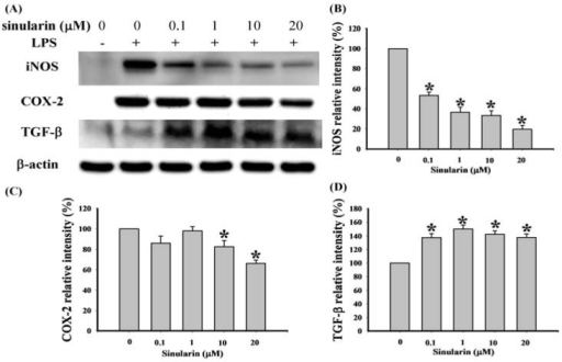 Effect of sinularin on protein expression of pro-inflammatory inducible nitric oxide synthase (iNOS) and cyclooxygenase-2 (COX-2) and anti-inflammatory transforming growth factor-β (TGF-β) in RAW 264.7 cells induced by lipopolysaccharide (LPS; 0.01 μg/mL). (A) Western blots of iNOS, COX-2, TGF-β, and β-actin proteins from RAW 264.7 cells; (B) relative density of immunoblot of iNOS; (C) relative density of immunoblot of COX-2; (D) relative density of immunoblot of TGF-β. Relative intensity of the LPS-stimulated group was defined as 100%. Band intensities were quantified using densitometry and are indicated as the percentage change relative to that of the LPS-stimulated group. Western blotting using β-actin was performed to verify loading of equivalent amounts of protein in each lane. This experiment was repeated 3 times. * P < 0.05 compared with the LPS-stimulated group.