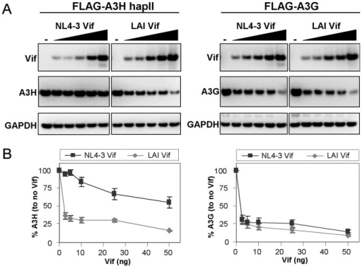 APOBEC3H sensitivity to NL4-3 and LAI Vif.(A) Increasing amounts of NL4-3 or LAI Vif expression plasmids (0, 2.5, 5, 10, 25 and 50 ng) were cotransfected with 100 ng of FLAG-tagged A3H-hapII or A3G in 293T cells. Two days post transfection cells were lysed and analyzed by western blot. (B) A3H-hapII and A3G expression from (A) were quantified by measuring non-saturated signals using the Fujifilm Intelligent Lightbox LAS-3000 instrument and Image Reader LAS-3000 software. Signals were normalized by setting both A3H-hapII and A3G expression levels without Vif at 100%. Error bars represent standard deviation from three independent experiments.