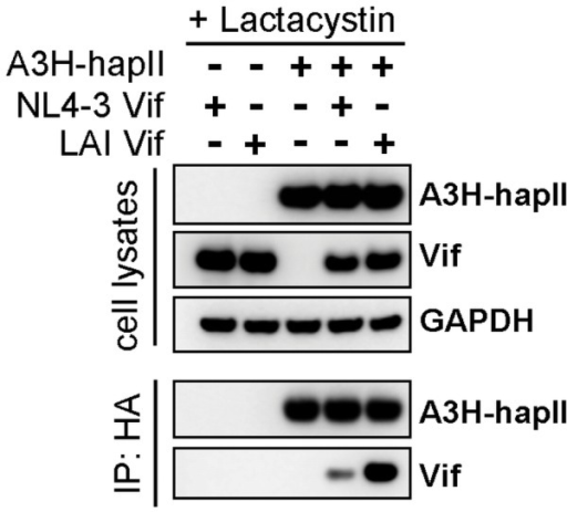 Association of A3H-hapII with LAI Vif, but not with NL4-3 Vif.5 µg HA-tagged A3H-hapII was co-transfected with 1 µg of the indicated Vif expression plasmids in 293T cells in 10-cm dishes. Cells were treated with clasto-Lactacystin β-lactone (10 µM) for ten hours and cells were lysed in mild lysis buffer 2 days post transfection. Lysates were cleared and incubated with anti-HA tagged beads (Sigma) for one hour at 4°C. Beads were extensively washed with lysis buffer and proteins were eluted by boiling in sample loading buffer. Proteins were analyzed by western blot.