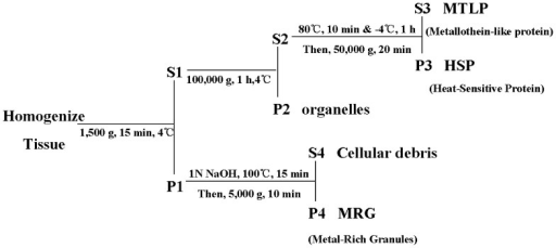 Procedure for determining the subcellular partitioning of metal.The liver was homogenized by different treatments and centrifuged at different speeds, afterwards the following subcellular fractionations were obtained: organelles (i.e. nucleus, mitochondria, and microsomes, P2), HSP (heat-sensitive proteins, P3), MTLP (metallothionein-like protein, S3), MRG (metal-rich granules, P4), and cellular debris (S4).