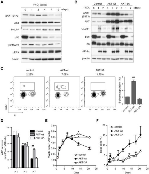 Downregulation of AKT phosphorylation is important for induction of dormant status.A) Immunoblot of the AKT/mTORC1 or ERK/p38 MAPK pathway in AsPC-1 cells cultured in hypoxia. B) Immunoblot of AKT signaling and HIF-1α in AsPC-1 cells expressing vector control, AKT-wt, or AKT-3A (inactive). C) Cell cycle status of the cells at day 7 in hypoxia. Percentages of the cells in S phase are indicated above the plot and in the right graph. D) ATP turnover measured by adding inhibitor cocktail for glycolysis and oxidative phosphorylation. N1, normoxia 1 day; H1, hypoxia 1 day; H7, hypoxia 7 days. E, F) Viable cell number (E) and percent cell death (F) of AsPC-1 cells cultured in hypoxia. *p<0.05, **p<0.01, ***p<0.001.