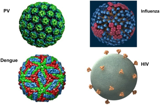What's different about HIV virions?Surface projections of bovine papillomavirus (BPV), HIV, dengue virus, and influenza virus are shown (not to scale). The images of papillomavirus (PV) and dengue virus were obtained from the Viper database (PMID: 18981051). The image of influenza virus is courtesy of cdc.gov. The HIV image was generously provided by Sriram Subramaniam, National Cancer Institute.