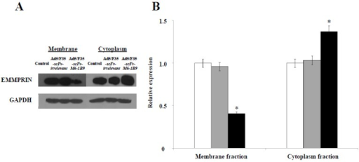 Down-regulation of EMMPRIN cell surface expression via scFv-M6-1B9 intrabody and its accumulation inside Caco-2 cells. (A) Western blotting analysis of EMMPRIN protein expression and (B) densitometry analysis of EMMPRIN expression. The white, gray, and black bars represent the protein fractions from untransduced, Ad5/F35-scFv-irrelevant, and Ad5/F35-scFv-M6-1B9 transduced Caco-2 cells, respectively. Y-axis is the fold change of the EMMPRIN expression which was normalized with GAPDH. * p<0.05, as determined by one-way ANOVA.