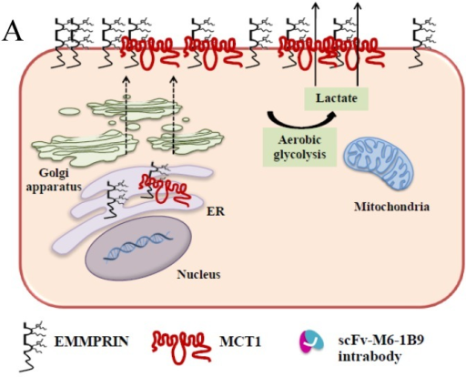 Schematic diagram of possible apoptotic mechanism underlying EMMPRIN down-regulation via scFv-M6-1B9 intrabody. (A) EMMPRIN facilitates proper expression of MCT1 at the cell surface. This association plays an important functional role in lactate transport. In cancer cells, an excess of lactic acid is produced by aerobic glycolysis, which must be rapidly exported across the plasma membrane to avoid a drop in pHi57, 65. (B) The scFv-M6-1B9 intrabody can specifically trap the EMMPRIN molecule within the ER, based on the ER retention signal. Suppression of EMMPRIN-MCT1 complex by the down-regulation of EMMPRIN, which resulted in the inhibition of the lactate transporter. (C) Blocking of lactate transport leads to the accumulation of intracellular lactate inside the cell 31. The acidic pHi can be stimulated by different pathways, which are as follows: (i) by altering the mitochondrial membrane potential (Δψm) directly or by increasing the permeability of the outer mitochondrial membrane by promoting the binding of Bcl-2 62; (ii) by activating nuclear localized endonucleases, a key enzyme that mediates regulated DNA fragmentation and chromatin condensation in response to apoptotic signals 63; and (iii) by activating caspase-3, a pro-apoptotic cysteine protease involved in the activation cascade of caspases responsible for apoptosis execution 64.