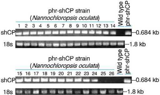 Using PCR to detect of the existence of transferred gene in the transformed N. oculata.Plasmid phr-shCP was used to transform N. oculata. After transformation, all microalgae cells were cultured, and the putative clones were selected to determine the existence of shCP fragment in N. oculata transformed with phr-shCP at the expected size of 0.684 kb. The wild-type (WT) strain served as a negative control, whereas plasmid phr-shCP served as a positive control. The small subunit 18S ribosomal RNA (18s) served as the internal control.