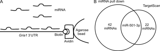 Identification of Gria1 targeting miRNAs. Small RNAs isolated from the hippocampus of mice (17 d old) were incubated with Gria1 3′ UTR-bound beads for pull-down of Gria1 binding miRNAs. (A) Schematic illustration of the pull-down assay. (B) Overlap of miRNAs identified by pull-down and those predicted by TargetScan to bind to Gria1 3′ UTR at conserved binding sites.