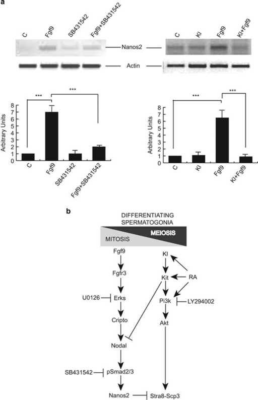 Fgf9-induced increase of Nanos2 expression depends on Nodal signaling and is inhibited by Kl. (a) Left panel: Semiquantitative RT-PCR analysis of mRNA expression of Nanos2 in untreated Kit+ spermatogonia and in the same cells cultured overnight with Fgf9, in the presence or absence of the Alk4/7 selective inhibitor SB431542. In this experiment, we used Nanos2 primers '1' listed in Supplementary Table 1. Right panel: Semiquantitative RT-PCR analysis of mRNA expression of Nanos2 in untreated Kit+ spermatogonia and in the same cells cultured overnight with Kl, with Fgf9 or with both growth factors. In this experiment, we used Nanos2 primers '2' listed in Supplementary Table 1. For both panels, the results of densitometric analysis from three independent experiments is shown below. Bars represent the mean ±S.D. (b) Schematic representation which summarizes the main findings of our present work: Fgf9 maintains differentiating (Kit+) spermatogonia in the mitotic condition and prevent meiosis (Stra8 and Scp3 expression) through a cascade involving sustained Erks activation and the consequent stimulation of the Cripto-Nodal-pSmad2/3 signaling, which leads to expression of the meiotic gatekeeper Nanos2. On the opposite, retinoic acid (RA) and Kl/Kit signaling inhibit Nodal expression and stimulate Pi3k-Akt signaling, which is required for Stra8 and Scp3 expression, with the consequent mitotic-meiotic switch