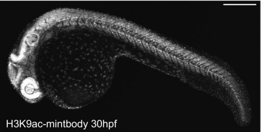 H3K9-mintbody in zebrafish. Zebrafish expressing H3K9-mintbody developed normally. A fluorescence image of a zebrafish expressing H3K9-mintbody (30 h post fertilization) was collected using a confocal microscope. Bar 100 μm