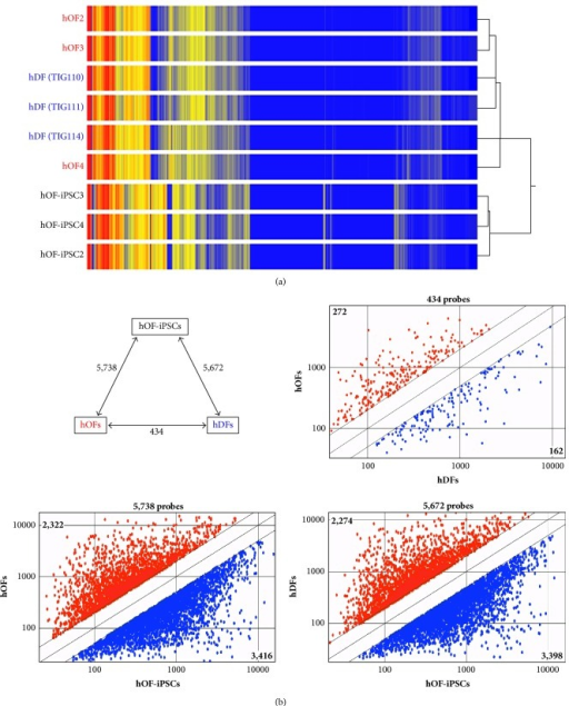 Gene expression signatures in hOFs, hDFs, and hOF-iPSCs. (a) Heat map and hierarchical clustering of whole microarray probes for each of the nine samples. Three individual samples were prepared from each of three types of cells, hOFs, hDFs, and hOF-iPSCs. (b) Comparisons of average signal values among the three types of cells, hOFs, hDFs, and hOF-iPSCs. The number indicates differentially expressed genes (p < 0.05, ≥2-fold change; upper panel, left). Scatter plots comparing the average signal values of three samples are shown and the number of differentially expressed probes at more than 2-fold levels is indicated as follows: hOFs versus hDFs (upper panel, right), hOFs versus hOF-iPSCs (lower panel, left), and hDFs versus hOF-iPSCs (lower panel, right).