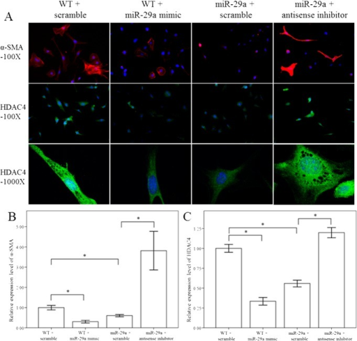 Comparison of α-SMA and HDAC4 expression in 10th culture day of activated HSCs of WT and miR-29aTg mice after treatment with a miR-29a mimic and anti-sense inhibitor for 24 hours.Expression of α-SMA (red) and HDAC4 (green) were much greater in activated HSCs of WT mice than in miR-29aTg mice. Treatment with a miR-29a mimic in activated HSCs of WT inhibited α-SMA and HDAC4 expression as well as HDAC nuclear translocation. In contrast, treatment with miR-29a anti-sense inhibitor in miR-29aTg mice increased α-SMA and HDAC4 expression as well as HDAC4 nuclear translocation. Data are expressed as the mean ± SE of four independent experiments. *indicates a p < 0.05 between the groups.