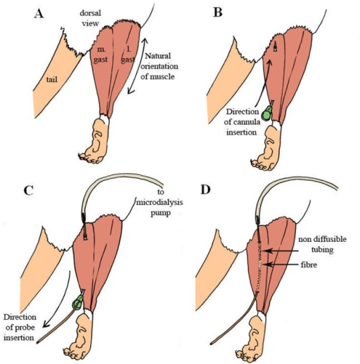 Experimental procedure for microdialysis probe insertion.(A) Exposing the medial and lateral gastrocnemius muscle. (B) Insertion of 21 gauge cannula. (C) Microdialysis probe insertion guided by the cannula. (D) Location of the diffusible membrane within the muscle.