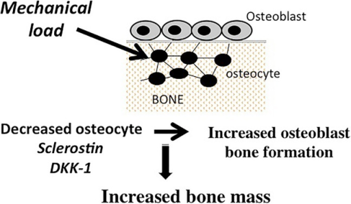 Osteocyte-derived sclerostin and Dickkopf-related protein 1 (DKK-1) regulate bone formation. Loading decreases osteocyte-derived sclerostin and DKK-1, which results in activation of the Wnt/β-catenin signaling in osteoblasts and increased bone formation.