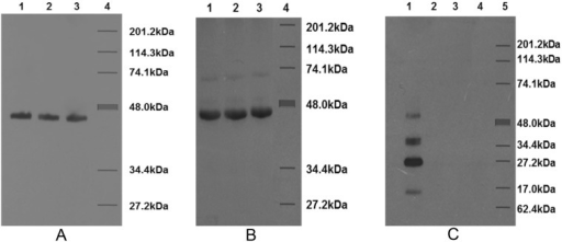 Western blots of enriched MOMPs from C. jejuni strains reacted with rabbit antiserum to the MOMP from C. jejuni strain 111 (A), with rabbit antibody to CT (Sigma) (B), and with rabbit antiserum to dmLT (C).SDS-12% PAGE-separated MOMPs were transferred to a nitrocellulose membrane and probed with the appropriate rabbit antiserum and then with anti-rabbit immunoglobulin. In panels A and B, lanes 1, 2 and 3 were loaded with MOMPs from C. jejuni 48, 75 and 111, respectively; lane 4 contains molecular weight markers. A prominent band of approximately 48 kDa corresponding to the MOMP is seen in all the three strains in panels A and B. The light band of approximately 74.1 kDa in panel B is a nonspecific band [9]. In panel C, lane 1 was loaded with dmLT, and 2 through 5, were the same as lanes 1 through 4 in panels A and B. There is a lack of reaction between the MOMPs and dmLT antibody in panel C. The different bands in lane 1 may represent different components of dmLT, namely B5, A, A1 and B1 (from highest to lowest molecular weight).