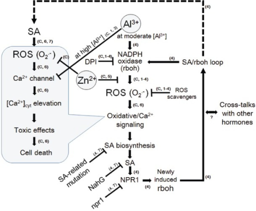 "A model for Al3+-induced signaling leading to oxidative cell death and its inhibition by Zn2+ in model plant cells. Knowledge from present experiments using the aequorin-expressing cell lines of tobacco (BY-2) were strengthened by previously reported models. As suggested in the cells of Arabidopsis thaliana (Kunihiro et al., 2011), SA signaling pathway is activated in the downstream of ROS such as O2•– (and possibly of calcium signaling). The loop of ROS-stimulated the SA signaling and expression of NADPH oxidase which produces further ROS, may eventually lead to development of cell death. Zinc may block the loop by interfering the NADPH oxidase-catalyzed ROS production similarly to the model for lanthanide-induced oxidative burst and cell death in tobacco cells (Kawano et al., 2002). Arrows indicate the stimulation and the T-shaped lines indicate the steps inhibited by agent indicated. The numbers and the symbol ""C"" in small brackets next to arrows or T-shaped lines denote the source of knowledge, namely; C, data confirmed here; 1, Kawano et al. (2003a; BY-2 cells); 2, Kawano et al. (2004; BY-2 cells); 3, Lin et al. (2005; BY-2 cells); 4, Kunihiro et al. (2011; Arabidopsis thaliana); 5, Kawano et al. (2002; BY-2 cells); 6, Kawano et al. (1998; BY-2 cells); 7, Kawano et al. (2013; review on higher plants)."