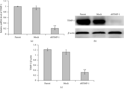 TIMP-1 expression was suppressed by shRNA-TIMP-1. TIMP-1 expression was analyzed by real-time RT-PCR and western blotting, respectively. (a) The levels of TIMP-1 mRNA in parental ADSCs, mock, and shTIMP-1 ADSCs were measured by real-time RT-PCR 72 h after shRNA infection. TIMP-1 mRNA expression in parental ADSCs is defined as 1. The y-axis represents the normalized TIMP-1 mRNA expression relative to parental ADSCs. (b) Representative western blot images for the detection of TIMP-1 protein expression in the ADSCs infected with shRNA against TIMP-1. (c) The relative expression level of TIMP-1 protein was quantified by the ratio of optical density of TIMP-1 and β-actin. The data are denoted as mean ± SD (n = 3). ∗∗P < 0.01 versus mock-shRNA group. Parental ADSCs: uninfected ADSCs; mock ADSCS: control lentivirus infected ADSCs; shTIMP-1 ADSCs: shRNA-TIMP-1 lentivirus infected ADSCs.