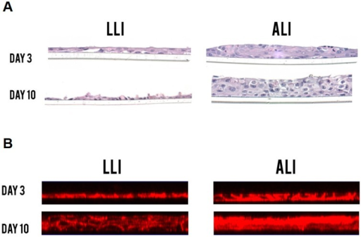 Hematoxylin and eosin (H&E) staining (A) and filamentous F-actin staining (B) comparison between the LLI and the ALI interface of Vk2 cells after 10 days of culture. Vk2 cells in ALI culture grew into multilayered epithelium compared to the monolayers seen in LLI. All samples were imaged on Leica HC DMR microscope under a 40× objective (Leica Microsystems). A minimum of three replicates per experimental condition was included. Representative images are shown.