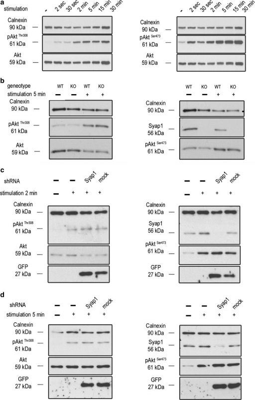 Syap1 knockdown or knockout does not significantly influence total Akt phosphorylation at Thr308 and Ser473 in primary motoneurons. a Western blot of serum-starved cells stimulated with BDNF (20 ng/ml) in a time series ranging from 2 s to 30 min. Maximum Akt Thr308 (left blot) and Ser473 (right blot) phosphorylation is achieved after 2–5 min of neurotrophin stimulation. b Western blots of motoneurons from wild-type and Syap1 knock-out embryos stimulated for 5 min with BDNF did not reveal a reduction in Akt phosphorylation at Thr308 (left blot) or Ser473 (right blot) due to Syap1 knockout. Calnexin and pan-Akt served as loading controls while GFP levels indicate a positive infection of the cells. c, dBlots of Syap1 shRNA-infected motoneurons and uninfected and mock-infected controls stimulated for two (c) or five (d) minutes with BDNF. No differences in Akt phosphorylation at Thr308 (left blots) and Ser473 (right blots) were observed after Syap1 knockdown compared to controls. The detection of Syap1 (right blots) demonstrates the strong reduction in Syap1 protein levels by the knockdown. Quantification of the signals of these and similar blots is shown in Fig. S8