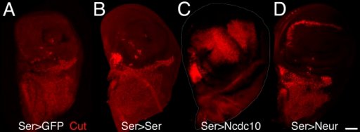 Expression of Neur in Dorsal Cells Is Sufficient to Rescue the D-mib Mutant PhenotypeD-mib2/D-mib3 mutant discs expressing GFP (A) (GFP staining not shown), Ser (B), Ncdc10 (C), or Neur (D) under the control of Ser-GAL4 were stained for Cut (red). Expression of Ser in dorsal cells did not rescue the D-mib2/D-mib3 wing pouch mutant phenotype (compare [B] with [A]), consistent with D-mib being required for Ser signaling. By contrast, expression of Ncdc10, an activated version of N, led to the deregulated growth of the dorsal compartment and the expression of Cut in most dorsal cells (C), indicating that activated N acts downstream of D-mib. Expression of Neur in dorsal cells was sufficient to compensate for the loss of D-mib activity (D).Bar is 40 μm for all panels.