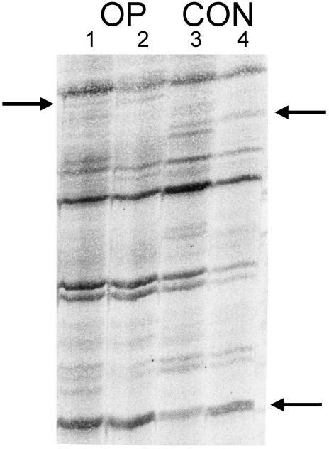 Detection of differentially expressed genes after facial nerve transection Radioactive labeled DD-PCR fragments after electrophoretic separation using a polyacrylamide gel and exposition to an x-ray film. Gel image illustrates that fragments with high and low expression can be identified. Lanes 1 and 2 represent the operated side. Lanes 3 and 4 represent the un-operated side (facial nucleus). By comparing operated and control side, fragments which are considered to be differentially displayed appear in both lanes for either operated or un-operated sides (arrows). Fragments indicating either up- or down-regulation have been chosen for further analysis.