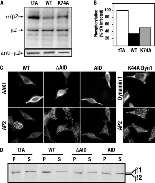 AAK1 globally disrupts AP-2 function. (A) Adenovirally-infected tTA HeLa cells overexpressing WT AAK1, K74A AAK1, or the tTA were labeled in vivo with 32P-orthophosphate. AP-2 was then immunoprecipitated with the mAb AP.6 and analyzed by SDS-PAGE (top). Immunoblot (bottom) with antibodies specific for μ2 (provided by J. Bonifacino, National Institutes of Health, Bethesda, MD) indicates equal loading. (B) Quantitation of phosphorylated large adaptin subunits from whole cell lysates relative to the tTA control. Data shown are representative of three independent experiments. (C) tTA HeLa cells, cultured in the absence of G418, were infected with the indicated AAK1 or dynamin adenovirus constructs. All cells are virally infected, but only those cells that retain tTA express the adenovirus-encoded constructs. Infected cells were fixed with ice-cold acetone and methanol extracted before further processing for immunolocalization of AAK1 using pAbs against either the ΔAID or AID fragment and the mAb AP.6 that recognizes the α-adaptin subunit of AP-2. Samples were visualized by epifluorescence microscopy using a Zeiss Axiophot with an attached Zeiss Axiocam. (D) The distribution of AP-2 in particulate (P) and soluble (S) fractions, obtained as previously described (Damke et al., 1994), was tested in adenovirus-infected cells by immunoblot analysis, using the mAb 100/2 (Sigma-Aldrich).
