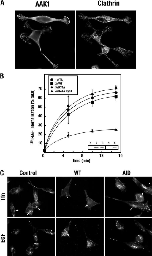 AP-2–deficient clathrin-coated pits are functional for EGF uptake. (A) WT AAK1-infected tTA HeLa cells (cultured as described in the legend to Fig. 3 C) show no defect in the recruitment of clathrin to the plasma membrane or its ability to generate coated pits, as observed by immunolocalization using the mAb X22. (B) EGF internalization was tested in tTA HeLa cells infected with adenoviruses expressing either tTA, WT, or K74A AAK1, or K44A dynamin-1 adenoviruses, as indicated in the legend. Protein expression levels were tested by immunoblot analysis (inset) using pAbs against either the ΔAID AAK1 fragment (lanes 1–3) or against dynamin (lanes 1 and 4). (C) tTA HeLa cells, cultured on coverslips and infected with the indicated adenoviruses, were tested for their ability to internalize rhodamine-conjugated Tfn and Alexa-488–conjugated EGF, simultaneously (Molecular Probes). Cells were incubated in the presence of 2 ng/ml EGF and 4 μg/ml Tfn for 15 min at 37°C. Cells were then transferred to ice, washed to remove unbound ligand, fixed with acetone, and visualized by epifluorescence as described in the legend to Fig. 3. A significant decrease in Tfn accumulation in the endosome is observed in WT AAK1–infected cells relative to AID AAK1– or control-infected cells (arrows), whereas EGF uptake is unaffected.