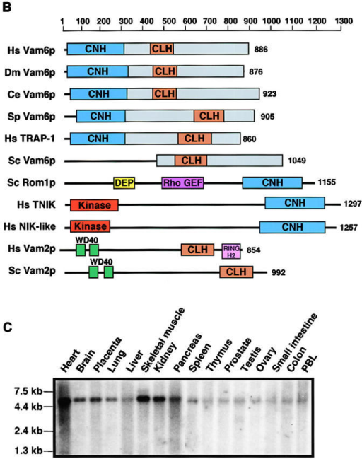 Sequence homology, domain organization, and expression of hVam6p. (A) Full-length amino acid sequences of human (Homo sapiens; Hs) Vam6p (hVam6p), a D. melanogaster (Dm) homologue, and a C. elegans (Ce) homologue were aligned together with residues 451–1049 of S. cerevisiae (Sc) Vam6p/Vps39p, using the ClustalW Multiple Sequences Alignment software (available at the European Bioinformatics Institute website http://www2.ebi.ac.uk/clustalw/) and shaded using the BOXSHADE program. Identical and similar residues are indicated by black and gray shading, respectively. The blue line denotes the hypothetical hVam6p CNH domain, which is conserved in Dm and Ce but not Sc. The brown line indicates the position of the hypothetical hVam6p CLH domain, which is conserved in all four orthologues. Domains were identified by Pfam HMM database searches (available from Washington University at http://pfam.wustl.edu/hmmsearch.shtml) (B) Domain organization of Vam6p/Vps39p family members. Specific domains are color-coded and regions of significant homology to hVam6p are shown in blue (CNH), brown (CLH), and green. GenBank/EMBL/DDBJ accession numbers are as follows: Hs Vam6p/Vps39p (AF280814), Ds Vam6p (AAF55525), Ce Vam6p (T24712), Sp Vam6p (T38314), Hs TRAP-1 (XP 002298), Sc Vam6p/Vps39p (BAA11758), Sc Rom1p (S64365), Hs Traf2 and NCK-interacting kinase (TNIK) (AF172270), Hs NCK-interacting kinase–like (AAC83079), Hs Vam2p/Vps41p (P49754), Sc Vam2p/Vps41p (BAA19071). Note that whereas the S. cerevisiae CLH domain has previously been situated between residues 716 and 900 (Wurmser et al., 2000); our domain analysis, using the Pfam program, positions it between residues 512 and 676. DEP is a domain found in Dishevelled, Egl-10, and Pleckstrin. (C) Analysis of hVam6 mRNA expression in different human tissues. Northern blots with mRNA from various human tissues were analyzed with a 32P-labeled probe specific for the complete hVam6 mRNA. The positions of RNA size markers are indicated.