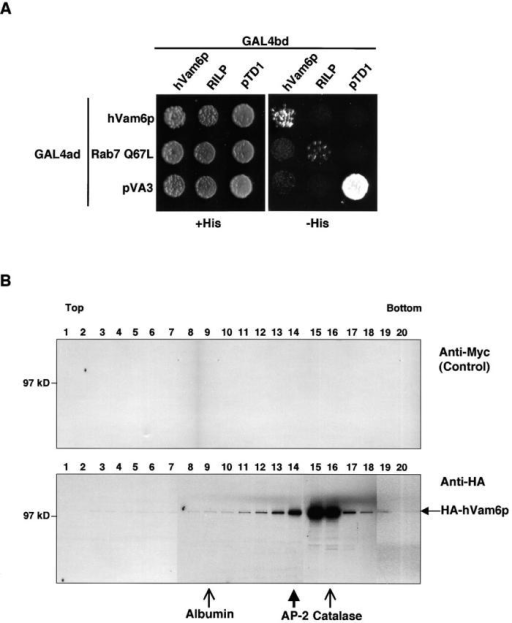 Homooligomerization of hVam6p. (A) The S. cerevisiae yeast strain AH109 was cotransformed with the following GAL4ad fusion constructs: GAL4ad–hVam6p, GAL4ad–Rab7 Q67L, and GAL4ad–pVA3 (murine p53 control), together with the GAL4bd fusion constructs GAL4bd–hVam6p, GAL4bd–RILP, and GAL4bd–pTD1 (SV40 large T-antigen control). Cotransformants were assayed for growth on nonselective (+His) and selective (−His) media. (B) Sedimentation velocity analysis of hVam6p from [35S]methionine–labeled HeLa cells. The cell extract was run on a 4–20% sucrose gradient, and fractions were analyzed by sequential immunoprecipitations. The fractions were first cleared with an irrelevant antibody and then subjected to immunoprecipitation with a second irrelevant antibody (mouse monoclonal anti-Myc). The fractions were then immunoprecipitated with a mouse monoclonal antibody to the HA epitope. Fractions from the anti-Myc (control, top) and anti-HA (bottom) immunoprecipitations were then resolved by 4–20% gradient SDS-PAGE. Thin arrows denote markers visualized by Coomassie blue staining of separated fractions subjected to the same gradient conditions (albumin and catalase). The thick arrow denotes the position of AP-2, as visualized by immunoblotting of 10% of the labeled fractions with anti–AP-2 antibody (100/2) upon completion of the immunoprecipitations.