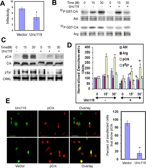 Overexpression of Unc119 inhibits Shigella infection, Abl/Arg activation and Crk phosphorylation.(A) 3T3 cells were infected with the bicistronic GFP-RV retrovirus (vector) or GFP-RV-Unc119 retrovirus (Unc119). Cells were sorted for GFP expression and infected with Shigella. The results represent mean±SD of 3 independent experiments performed in triplicates (*P = 0.025). (B) Reduced Abl and Arg kinase activity ex vivo in Unc119 overexpressing cells. 3T3 cells expressing GFP-RV-Unc119 and GFP-RV were infected with Shigella and the cell lysates were collected at the noted time points. Abl and Arg kinases were immunoprecipitated and assayed for kinase activity using recombinant GST-Crk as a substrate. (C) Inhibition of Crk and CRKL phosphorylation by Unc119. Crk and CrkL were activated by Shigella and PDGF (20 ng/ml) respectively. Their tyrosine phosphorylation was examined after immunoprecipitation by western blotting using an anti-pCrk (Y221) or anti-phosphotyrosine (4G10) antibody. Equal loading was checked after reprobing the membranes with an anti-CrkII (Crk) and anti-CrkL antibody. (D) Densitometric analysis of 3 independent experiments from Figures B & C is shown. *P<0.05 compared to the same time point in the absence (-) of Unc119. (F) Reduced Crk phosphorylation in Unc119 overexpressing cells. Cells plated on a glass cover-slip were transiently transfected with GFP-RV-Unc119 and GFP-RV followed by infection with Shigella. The cells were immunostained for pCrk (red). The green cells (GFP+) indicate the expression of GFP and Unc119 on the upper panel or GFP alone on the lower panel. Scale bar, 20 µm. The right bar graph shows the number of GFP-RV-Unc119 (Unc119) and GFP-RV (vector) expressing cells that also show Crk phosphorylation. The results represent mean±SD of three independent experiments (*P<0.001).