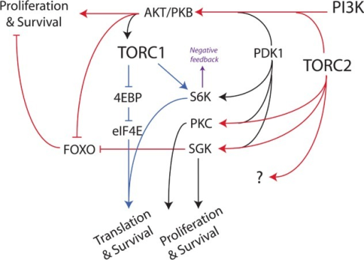 Simplified diagram of the PI3K/AKT/TOR signaling network. Red indicates TORC2-dependent steps. Blue indicates TORC1-dependent steps. The arrow between AKT and TORC1 represents a multistep process, in which activated AKT and other inputs from growth factor signaling pathways and nutrients are integrated to control TORC1 activity. Activated S6K mediates feedback inhibition of upstream signaling through several mechanisms.