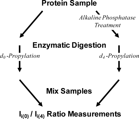 Analytic Scheme Used for Phosphorylation AnalysisThe protein sample is split into two fractions. One protein fraction is treated with phosphatase and serves as an internal standard. Each fraction is digested with trypsin. The peptides in each fraction are differentially labeled with propylation reagent-d0 or -d4, and then the fractions are recombined. Ion current ratios are measured for each pair of labeled isotopologues.