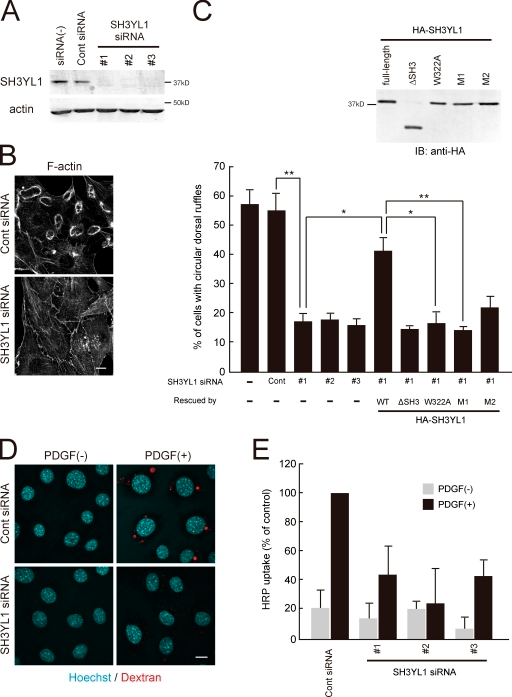 SH3YL1 is necessary for dorsal ruffle formation. (A) Anti-SH3YL1 immunoblots of NIH3T3 cells transfected with control or SH3YL1-specific siRNA. (B) Phalloidin staining of control or SH3YL1-depleted NIH3T3 cells treated with PDGF for 5 min. Bar, 10 µm. (C) Percentages of cells generating at least one circular dorsal ruffle. Rescue experiments were performed by transfecting HA-SH3YL1 constructs (blot, expression levels of the indicated constructs) to recover circular dorsal ruffle formation. Results are a mean (SD) of three independent experiments; 200 cells counted (100 cells for the rescue experiments) per experiment. **, P < 0.01; *, P < 0.05. (D) Control or SH3YL1-depleted NIH3T3 cells were allowed to internalize the fluid-phase marker rhodamine-dextran (0.2 mg/ml; shown in red) for 10 min and then stained with Hoechst (cyan). Bar, 10 µm. (E) NIH3T3 cells transfected with indicated siRNAs were subjected to HRP uptake assay for 10 min with or without PDGF stimulation (20 ng/ml). Results are a mean (SD) of three independent experiments.
