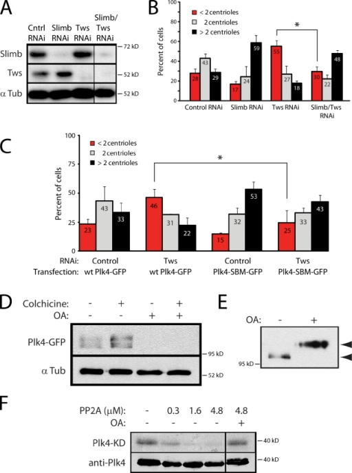PP2ATws stabilizes Plk4 to promote centriole duplication. (A) Immunoblots of 6-d RNAi-treated S2 cells demonstrating knockdown of target proteins. α Tub, α-tubulin; Cntrl, control. (B) Loss of centrioles by Tws RNAi is rescued by codepletion of Slimb. Each mean percentage of cells (numbers) is derived from two experiments (n = 598 cells/treatment). Asterisk indicates significant difference (P < 0.02) between compared treatments mentioned in the text. (C) Low expression of nondegradable Plk4-SBM-GFP also rescues the centriole loss by Tws-RNAi. Each mean percentage (numbers) is derived from three experiments (n = 900 cells/treatment). *, P < 0.04. (D) PP2A is required to stabilize Plk4. S2 cells overexpressing Plk4-GFP were treated with colchicine or OA for 24 h as indicated, and lysates were probed for GFP. (E) PP2A dephosphorylates Plk4-SBM-GFP in cells. S2 cells expressing Plk4-SBM-GFP were treated with OA for 24 h, and their lysates were immunoblotted for GFP. Note the clear shift in mobility of Plk4-SBM after OA treatment (arrowheads), consistent with Plk4-SBM being hyperphosphorylated after PP2A inhibition. (F) PP2A dephosphorylates Plk4 in vitro. Human PP2A dephosphorylates autophosphorylated Plk4-KD + DRE-(His)6 protein (Plk4-KD) but is inhibited by OA. (top) Autoradiogram; (bottom) Plk4 immunoblot. Black lines indicate that intervening lanes have been spliced out. Error bars indicate SD.