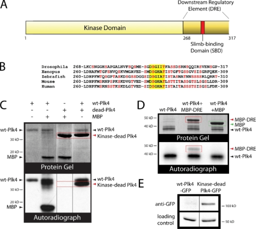 Drosophila Plk4 autophosphorylation promotes its own degradation. (A) Linear map of Drosophila Plk4 amino-terminus encoding the KD and the DRE. The red bar indicates the position of the conserved SBD (DSGXXT). (B) Lineup of the 50 amino acid DRE encoded by Plk4 family members. Serine and threonine residues are shown in red. Yellow box highlights the SBD. (C) Purified recombinant Plk4 kinase domain + DRE (wt-Plk4) but not kinase-dead (D156N point mutation of wt) Plk4 autophosphorylates in vitro. Coomassie-stained gel (top) and corresponding autoradiograph (bottom) are shown. (lanes 1 and 2) Plk4 phosphorylates itself and purified bovine myelin basic protein (MBP). (lane 3) Kinase-dead Plk4 lacks kinase activity. (lane 4) wt-Plk4 phosphorylates kinase-dead Plk4 in trans. (D) wt-Plk4 phosphorylates purified DRE fused to maltose-binding protein (MBP-DRE) in trans but does not phosphorylate purified maltose-binding protein. (E) A kinase-dead mutation in Plk4 inhibits its degradation in S2 cells. Anti-GFP immunoblot of S2 cell lysates shows that full-length kinase-dead Plk4-GFP is more stable than wt-Plk4-GFP, which is degraded and nearly undetectable. Inducible Plk4 constructs were cotransfected into S2 cells with Nlp-GFP (used as a loading control and driven by its endogenous promoter). Black/white lines indicate that intervening lanes have been spliced out.