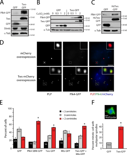 Ectopic Tws expression is sufficient to stabilize Plk4 and promote centriole amplification. (A) Immunoblots of S2 cell lysates showing that Tws-GFP overexpression stabilizes Plk4-GFP without affecting Slimb levels. S2 cells were cotransfected with inducible Plk4-GFP and inducible GFP (first lane) or Tws-GFP (second lane) expression constructs. After a 24-h recovery period, gene expression was induced with 1 mM CuSO4 for 20 h. Cell lysates were then prepared and immunoblotted for GFP, endogenous Slimb, and α-tubulin (α Tub; loading control). (B) The extent of Plk4-GFP stabilization is dose dependent on Tws-GFP. S2 cells were cotransfected with Plk4-GFP (driven by the weak, constitutive Drosophila SAS-6 promoter) and either GFP (negative control) or Tws-GFP, each controlled by the copper-inducible metallothionein promoter. Cells were incubated with 0, 0.5, 1, or 2 mM CuSO4 for 24 h, and cell lysates were probed by GFP immunoblotting. (C) Immunoblot of S2 cell lysates showing that Plk4-GFP is also stabilized by human Tws (HsTws; PR55-α) overexpression. (D) Tws-mCherry expression drives abnormal accumulation of Plk4-GFP on centrioles (anti-D-PLP) in interphase S2 cells. Insets show centrioles (dashed boxes) at higher magnification. Bars, 5 µm. (E) Tws-GFP overexpression promotes centriole amplification. Graph shows the percentage of transgene-expressing cells containing the indicated number of centrioles; means (numbers) derived from three experiments (n = 600 cells/treatment). *, P < 0.003 (treated conditions compared with GFP control). (F) Tws-GFP overexpression increases the frequency of multipolar spindles. S2 cells expressing GFP or Tws-GFP were immunostained for centrioles (anti-PLP, red) and α-tubulin (green). DNA (blue) is Hoechst stained. Bar, 2.5 µm. Graph shows mean percentages (numbers) of mitotic cells with multipolar spindles (two experiments; n = 76 cells/treatment). *, P < 0.01. Error bars indicate SD.