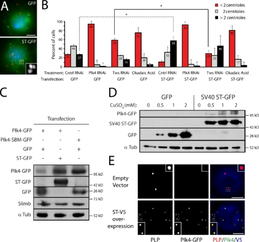 Tumor-promoting SV40 ST mimics Tws function to stabilize Plk4 and amplify centrioles. (A) S2 cells overexpressing GFP or ST-GFP (green) immunostained for PLP (red) to mark centrioles. DNA (blue) is Hoechst stained. (B) ST-GFP overexpression increases centriole numbers but not in the presence of OA. ST-GFP expression also rescues centriole loss caused by depletion of Tws but not Plk4. Centrioles were counted after 6-d RNAi or 24-h OA treatment in cells transfected with inducible GFP or ST-GFP (expression was induced during the last 2 d). Mean values (numbers) of two experiments are shown (n = 600 cells/treatment). Asterisks indicate significant differences (P < 0.05) between compared treatments mentioned in the text. Error bars indicate SD. Ctnrl, control. (C and D) Immunoblots show that ST-GFP overexpression stabilizes Plk4-GFP in S2 cells to levels similar to Plk4-SBM-GFP, without affecting endogenous Slimb levels (C) and in a dose-dependent manner (D; treatment protocol similar to that described in Fig. 4 B). α Tub, α-tubulin. (E) ST-V5 expression drives accumulation of Plk4-GFP on centrioles (anti-PLP) in interphase S2 cells. Insets show centrioles (dashed boxes) at higher magnification. Bars, 5 µm.