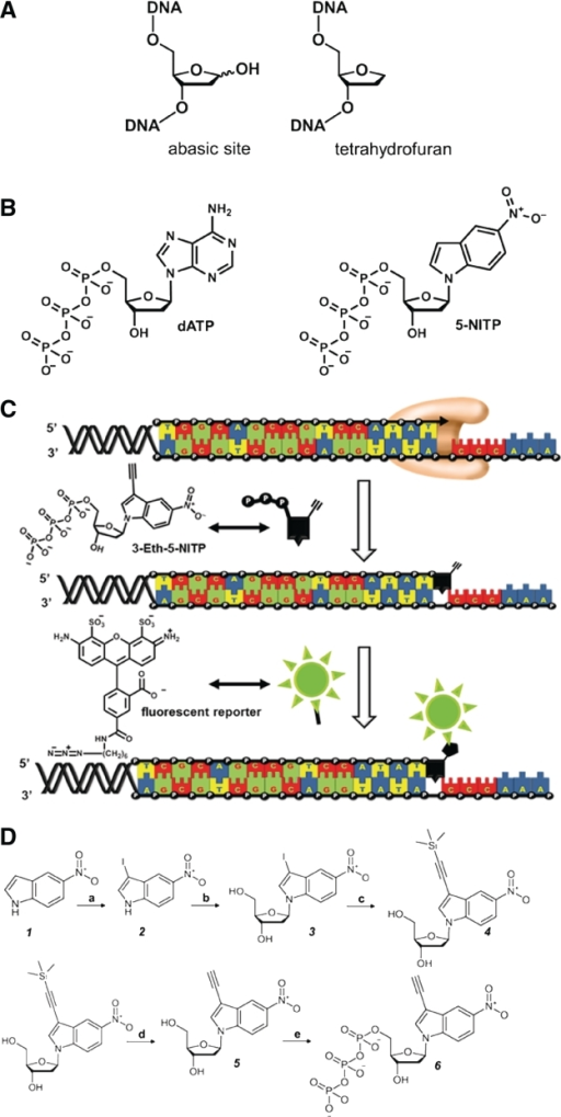 Non-natural nucleotides as probes for TLS. (A) Comparison of the structures for an abasic site with that for a tetrahydrofuran moiety, the stable and non-reactive mimetic for an abasic site. (B) Structures of dATP and 5-NITP, a prototypical non-natural nucleotide that is selectively and efficiently incorporated opposite an abasic site. (C) Strategy for using 'clickable' nucleotides to monitor TLS. (D) Synthesis of 3-Eth-5-NITP using the following reagents and conditions: (a) I2, KOH, DMF (b) i. NaH, 1-α-chloro-3,5-di-(O-p-toluoyl)-2-deoxy-d-ribose, anhydrous ACN, RT, 16 h; ii. NaOMe, MeOH, pH > 12, RT, 16 h; (c) Pd(PPh3)2Cl2, CuI, triethylamine, trimethylsilylacetylene, anhydrous THF, RT, 3 h; (d) 1 M TBAF, THF, RT, 3 h; (e) i. POCl3, Proton Sponge®, trimethylphosphate, 0°C; ii. Tributylammonium pyrophosphate, DMF, tributylamine, RT, 15 min; iii. 1 M TEAB, RT, 2 h.