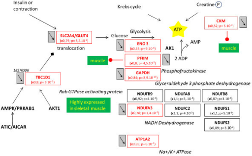 Impairment in ATP production. Impaired ATP production, with down-regulation of genes involved in glycolysis, mitochondrial oxidative phosphorylation and the phosphocreatine kinase pathway. Other than some moderately up- or down-regulated subunits of NADH dehydrogenase, most of the genes were down-regulated. Legends of this figure are provided in Figure 2.