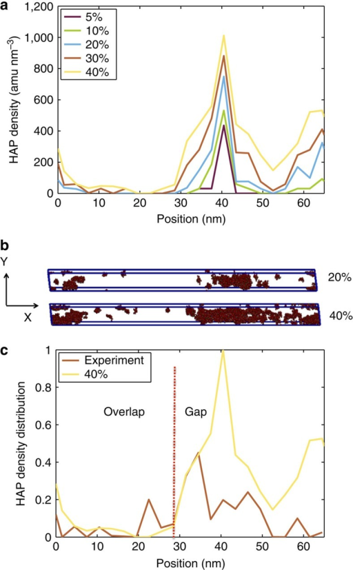 Mineral distribution in the collagen microfibril at different mineralization stages.(a) Distribution of HAP along the collagen fibril axis. The data shows that the maximum amount of HAP is found in the gap region (between 30 and 50 nm). (b) Spatial distribution of HAP in the unit cell for 20 and 40% mineral density. (c) HAP density distribution along the fibril axis for the 40% case normalized (same data as depicted in panel a) compared with experimental data26. The comparison confirms that maximum deposition is found in the gap region.