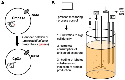 Amino acid and cofactor specific isotope labeling using custom-made auxotrophic expression strains (A) in a high cell density fermentation setup (B).CmpX13 is rendered auxotrophic for selected amino acid and/or cofactor synthesis pathways. The resulting expression strains are cultivated under controlled conditions to achieve the highest cell density under complete consumption of unlabeled substrates. Subsequently labeled substrates are fed and protein production is induced.