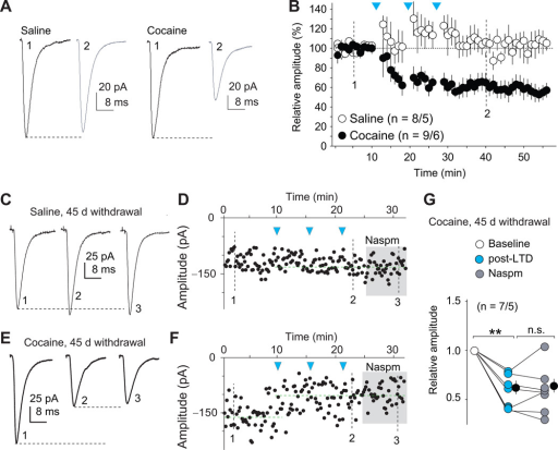 LTD induction at BLA-NAc synapses selectively internalizes CP-AMPARs on withdrawal day 45(A–B) Example traces (A) and summarized results (B) showing that the LTD induction protocol induced a persistent reduction of the peak amplitudes of EPSCs at BLA-to-NAc shell synapses from cocaine-experienced, but not saline-experienced, rats. Arrows indicate the time points of application of LTD protocols. (C–F) Example EPSCs and the time course showing that BLA-to-NAc shell excitatory synapses, although highly sensitive to Naspm after withdrawal from cocaine (Fig. 3 E–I), became Naspm insensitive after LTD induction (E–G). In saline-experienced rats, EPSCs within this projection were Naspm-insensitive before (Fig. 3 E–I) or after LTD induction (C, D). (G) Summary showing that, at BLA-to-NAc synapses, LTD induction induced a persistent decrease in the peak amplitude of EPSCs, and that EPSCs lost their sensitivity to Naspm after LTD, suggesting a selectively reduction (internalization) of CP-AMPARs from these synapses. Error bar, s.e.m. ** p<0.01.