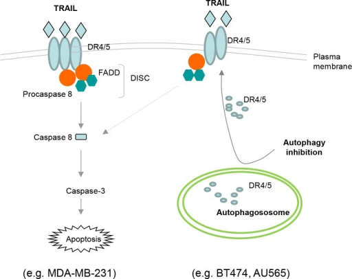Schematic representation of the basal autophagosome mediated cellular resistance to TRAIL induced apoptosisIn MDA-MB-231 cells, TRAIL binds DR4 and/or DR5 expressed on cell surface, thereby recruiting adaptor protein Fas-associated death domain (FADD) and pro-caspase 8 into a death inducing signaling complex (DISC). Within the DISC, caspase 8 undergoes self-cleavage and activation which triggers the caspase cascade, cleavage of structural proteins, and eventually apoptosis. Both BT474 and AU565 cells are characterized by high basal level of autophagosomes that sequester DR4 and DR5, which may contribute to their deficiency on cell surface. Disruption of autophagosome structures (e.g. by 3-MA or siATG7) restores the surface expression of DR4 and DR5 which make the cells susceptible to TRAIL induced apoptosis.