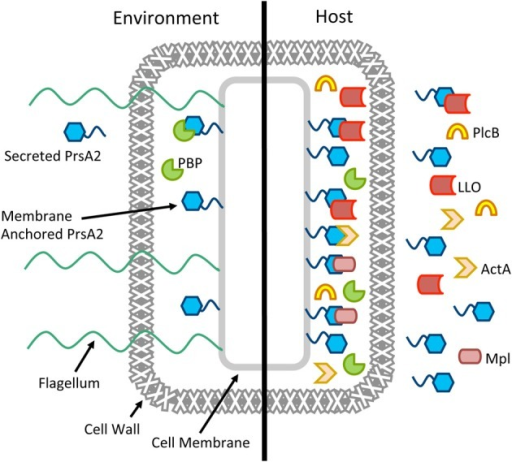 Working model for the multiple roles of PrsA2 in L. monocytogenes. A cartoon of a single L. monocytogenes cell is shown in the environment and in the host, with PrsA2 both tethered to the cell membrane and secreted. When L. monocytogenes is in the outside environment, PrsA2 directly or indirectly is required for functional penicillin binding proteins (PBP), flagellin, and other factors that contribute to cell wall integrity, swimming motility, and resistance to osmotic stress. When L. monocytogenes is in the host, activation of the central virulence regulatory protein PrfA leads to increased expression of several secreted virulence factors as well as PrsA2, which is required for the folding and stability of listeriolysin (LLO), the Mpl protease that activates the broad-range phospholipase (PlcB), ActA, and other factors.