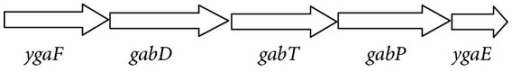The gab operon structure in S. Typhi. The arrowhead represents the length of the gene; the arrowhead of ygaE corresponds to 0.678 kb.