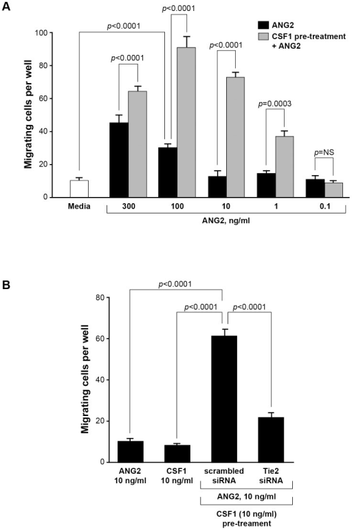 CSF1 pre-treatment augments the migratory response to ANG2 by CD14+ monocytes.(A) CD14+ monocytes were isolated and cultured in Boyden chemotaxis chambers in minimal media alone (Media), in media containing 0.1, 1, 10, 100 or 300 ng/ml rhANG2, or with the same ANG2 doses but first pre-treated for 24 hours with media containing 10 ng/ml rhCSF1 and analyzed for their migratory ability. A significant synergistic effect of CSF1 pre-treatment was first observed at 1 ng/ml rhANG2 and peaked at 100 ng/ml rhANG2. N = 8 and results represent the mean ± SEM of CD14+ monocyte migration through the Boyden chamber. (B) CD14+ monocytes were treated with rhANG2 (10 ng/ml) (ANG2) or rhCSF1 (10 ng/ml) (CSF1) alone, or pre-treated with rhCSF1 (10 ng/ml) for 24 hours, washed 3x, then treated with rhANG2 (10 ng/ml) for another 24 hours and transfected with a scrambled siRNA or an siRNA targeting the human Tie2 receptor. While ANG2 and CSF1 did not induce significant migration, the CSF1-pre-treated cells transfected with the scrambled siRNA migrated significantly more than those cells transfected with siRNA targeting Tie2. N = 8 and results represent the mean ± SEM of CD14+ monocyte migration through the Boyden chamber.