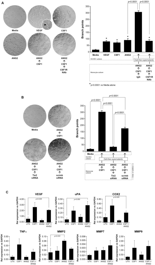 Conditioned supernatants from CSF1-treated TEMs augments HUVEC branching.(A) Human monocytes were isolated from whole blood and differentiated to macrophages over five days using rhCSF1 (5 ng/ml). The cells were serum-starved in endotoxin-free RPMI containing polymyxin B (10 µg/ml) for 24 hours then treated with either a neutralizing antibody for CSF1R or isotype antibody (40 µg/ml) for 1 hour prior to stimulation with CSF1 (10 ng/ml) for 18 hours. The cells were then washed three times and treated with ANG2 (10 ng/ml) for 24 more hours. The conditioned supernatants from these cells (CSF1/ANG2; CSF1R NAb/CSF1/ANG2) or minimal media alone, (minimal), media containing ANG2 alone (10 ng/ml) (ANG2), media containing CSF1 alone (10 ng/ml) (CSF1), or media containing VEGF (10 ng/ml)(VEGF) were used to culture 1.5×104 human umbilical vein endothelial cells (HUVEC) on growth factor-reduced Matrigel for 8 hours. Digital images were captured to determine HUVEC branching. The number of branches was quantified in a blinded manner per field. CSF1, VEGF, and ANG2 each stimulated significantly more branch points from the HUVECs than minimal media. The conditioned media from the macrophages pre-treated with CSF1 induced significantly more branch points than CSF1, VEGF, and ANG2 treatment alone and pre-treatment of the macrophages with the CSF1R neutralizing antibody significantly reduced branch points comparable to media containing VEGF, CSF1, and ANG2 alone levels. N = 5 and results represent the mean ± SEM of HUVEC branch points. (B) In the same manner as above, human monocytes were differentiated to macrophages over five days and serum-starved for 24 hours. The cells were transfected with a siRNA targeting human Tie2 receptor (50 nM) or a scrambled siRNA (50 nM) for 24 hours. The macrophages were washed three times with PBS and then treated with CSF1 (10 ng/ml) for 18 more hours. These conditioned supernatants were collected and used to culture HUVEC cells grown on growth factor-reduced Matrigel for eight hours to detect branch points. Digital images were captured to determine HUVEC branching. The macrophages pre-treated with CSF1 then ANG2 (CSF1/ANG2) induced a significant number of branch points compared to HUVEC cultured in media alone (Media). The conditioned supernatants from the macrophages transfected with siTie2 then treated with CSF1 then ANG2 (Tie2 siRNA/CSF1/ANG2) had significantly less branch points than the CSF1-conditioned supernatants and similar to the minimal conditions. The macrophages transfected with the scrambled siRNA and pre-treated with CSF1 then ANG2 (scrmbsiRNA/CSF1/ANG2) induced significantly more branch points than the conditioned supernatants from the siTie2 samples but still significantly less than the CSF1-conditioned media. N = 5 and results represent the mean ± SEM of HUVEC branch points. (C) CD14+ monocytes were left untreated (UTX) or treated with CSF1 (100 ng/ml) (CSF1), ANG2 (100 ng/ml) (ANG2), or the combination CSF1 (100 ng/ml) and ANG2 (100 ng/ml) (CSF1+ANG2) for 48 hrs. RT-PCR analysis for mRNA expression of the following angiogenic factors was performed: VEGF, uPA, COX2, TNFα, MMP2, MMP7, and MMP9. Data is represented as relative expression for each target mRNA relative to GAPDH housekeeping mRNA. VEGF, uPA, and COX2 mRNA were all significantly increased in CD14+ monocytes treated with CSF1+ANG2 compared to untreated CD14+ monocytes. Each condition was repeated at least 3 times (N = at least 3 and results represent the mean ± SEM for relative mRNA expression).